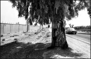 Diana Diemel-Eucalyptusboom Marokko